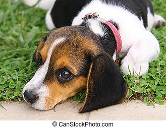 beagle,  CÙte, junger Hund