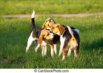 beagle, chiens