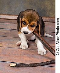 beagle, chiot, jouer