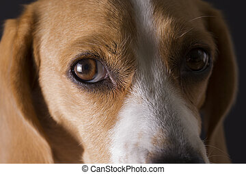 beagle, closeup, portrait.