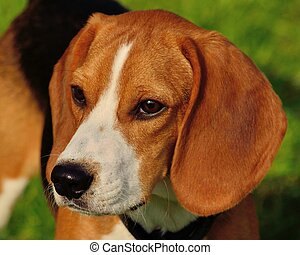 beagle, closeup