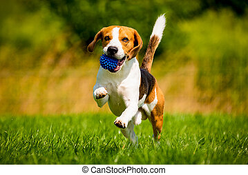 Beagle dog fun in garden outdoors run and jump with ball ...