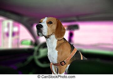 Beagle dog in a car