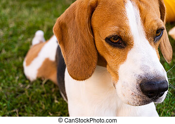 Beagle dog in a garden on green grass