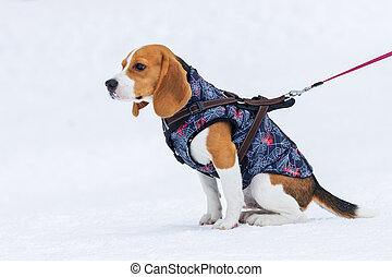 beagle dog in a vest sitting in the snow
