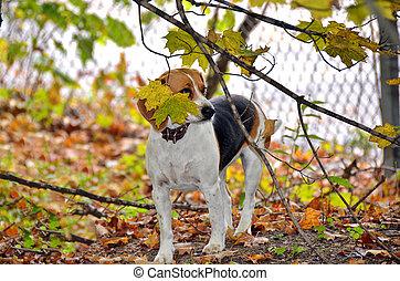 beagle dog in autumn woods