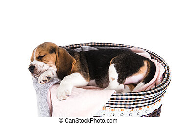 Beagle dog in basket