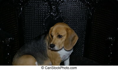 Beagle dog in chair - Beagle dog sitting in chair