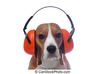 Beagle dog in red headphones