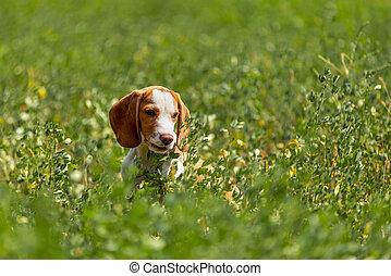 beagle dog in the grass