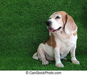 beagle. dog in the grass