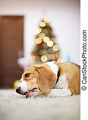 Beagle dog laying on carpet