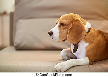 Beagle dog live in apartment