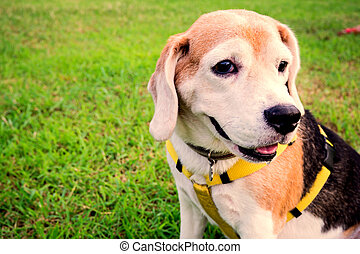 Beagle dog looking and seats on the grass green.