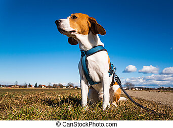 Beagle dog on rural road. Sunny day landscape copy space .
