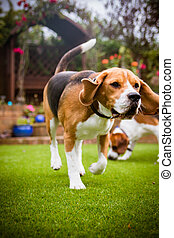 beagle dog running on some grass in park