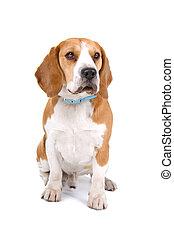 Beagle dog sitting, isolated on a white background
