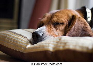Beagle Dog Sleeping - A young beagle pup sleeping on his...