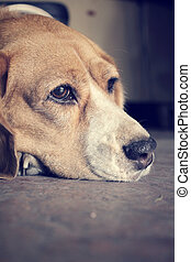 Beagle dog sleeping