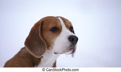 beagle dog sniffing around, closeup handheld footage