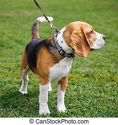 Beagle dog walking on the grass
