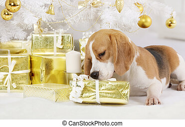 Beagle dog with a gift package
