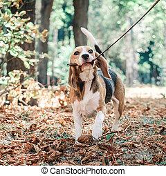 Beagle dog with a leash