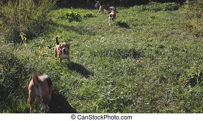 Beagle dogs look at camera on green grass yard aerial. Funny puppies run at grassy lawn. Smart animals at rural nature landscape. Pedigreed pets walk at greenery valley. Kiev city, Ukraine, Europe