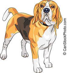 beagle, ernst, rasse, vektor, skizze, hund