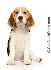 beagle, filhote cachorro