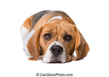 beagle, framme av, vit fond