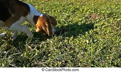 Beagle grabbing a wooden stick, slow motion