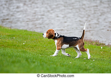 beagle, gras, grün