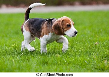 beagle, gras, grüner hund