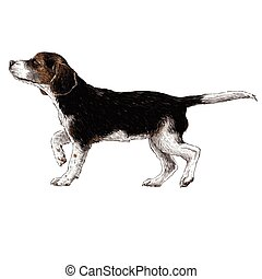 Beagle hand drawn - Image of beagle hand drawn vector