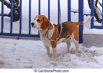Beagle-Harrier Dog on a leash near a fence in the snow in winter.
