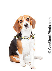 beagle, haustier, hund