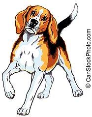 beagle hound dog isolated on white
