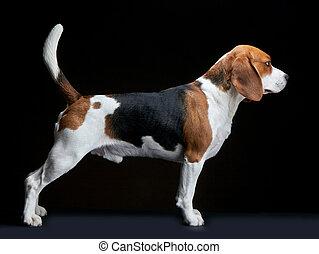 beagle, hund, auf, schwarzer hintergrund