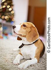 beagle, hund, auf, weihnachtsdeko, hintergrund