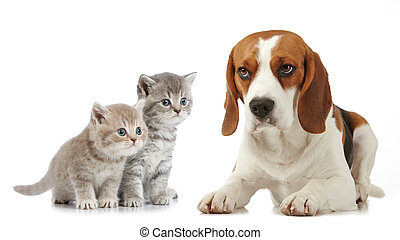 beagle, hund