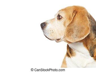 beagle, hund, freigestellt, weiß, hintergrund