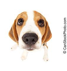 beagle, hund, freigestellt, weiß
