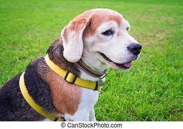 beagle, hund, sitze, gras, green.