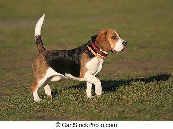 beagle, -, hund