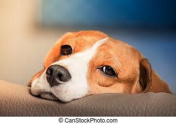 beagle, hund, trist