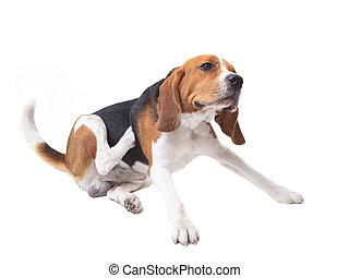 beagle, hund, weiß