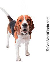beagle, hund, weiß, hintergrund