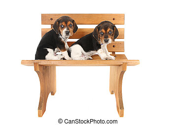 beagle, hundebabys, auf, a, bank