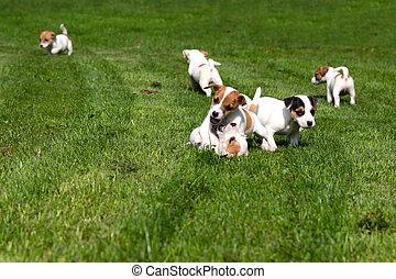 beagle, hundebabys, auf, gras